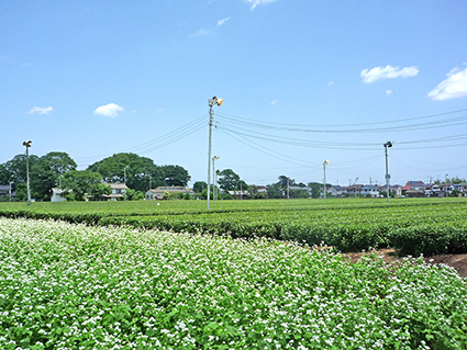 Soba_and_Tea_field_Tokorozawa